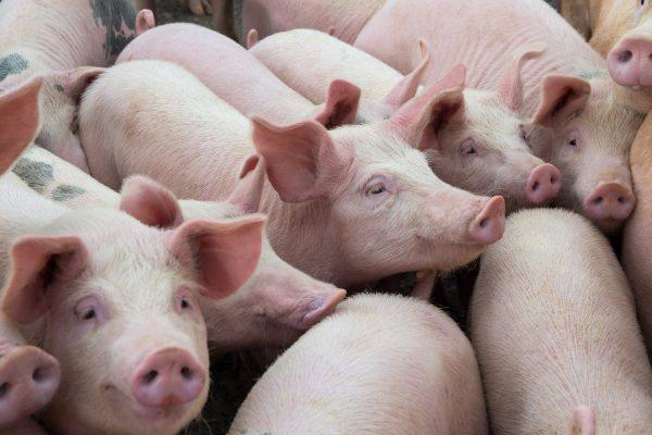 Aragón lidera el crecimiento del sector porcino nacional