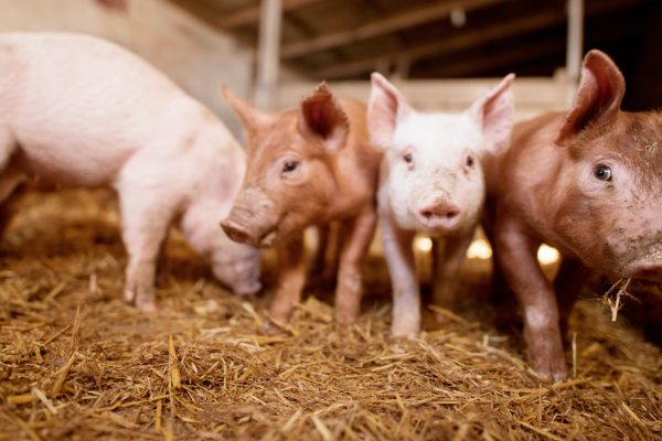 Litera Meat participa en un proyecto de investigación desarrollado por Laboratorios Hipra